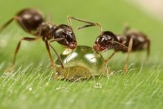 Ants drinking from a water droplet.