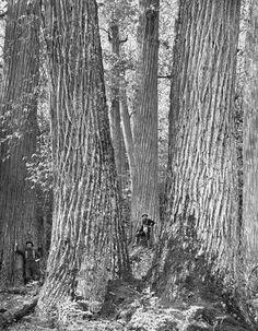 GMO Trees by Thomas Christopher