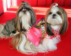 Shih-tzu dogs dressed in a Japanese kimono (R) and in men's formal attire sit on a stage at a dog fashion show in Tokyo
