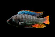 """Lithochromis xanthopteryx """"Makobe Island"""" a.k.a. Haplochromis sp. """"black pseudonigricans."""" Male cichlid, algae eater from Lake Victoria. Adult length 4 inches (male) and 3 inches (female)."""