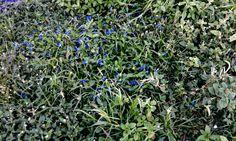 Trapoeraba azul