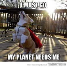 Google Image Result for http://static.themetapicture.com/media/funny-corgi-dog-cape-flying.jpg