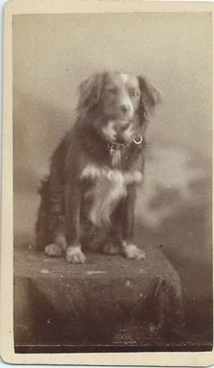 CDV Photo Spaniel X Pet Dog Wearing Collar New York. That is what the previous pinned said but I think there's some Aussie in this doggie! Antique Photos, Vintage Photographs, Vintage Photos, Photos With Dog, Dog Pictures, Best Dog Breeds, Best Dogs, English Shepherd, Aussie Dogs