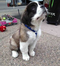 ♥ Saint Bernard Puppy ♥I'm going to grow I no it❤️