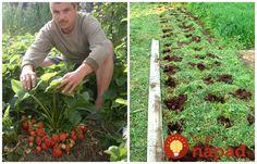 Všetko, čo potrebujete vedieť o pestovaní jahôd. Ale, Plants, Apollo, Gardening, How To Plant Strawberries, Vegetable Gardening, Lawn And Garden, Compost, Beer