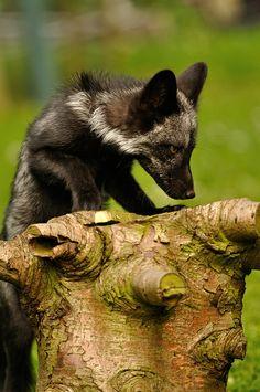 Silver Fox Cub