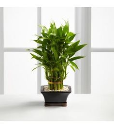 So why is Lucky Bamboo considered lucky ? Lucky Bamboo is one of the most popular feng shui cures. You can see feng shui lucky bamboo in most floral shops nowadays. These cute little arrangements in their exotic conta… Feng Shui Lucky Bamboo, Lucky Bamboo Plants, Buy Bamboo, Indoor Bamboo, Best Indoor Plants, Feng Shui Plants, Lucky Plant, Plant Images, Money Trees