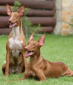 Pharaoh Hound. Get a Free Consultation for your #large #dog #breed from our Friends at Nature's Select http://naturalpetfooddelivery.com/nsd/usa/free-consultation/