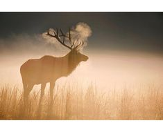 Bull Elk at Sunrise Nature Photography Fine Art by LightOfTheWild