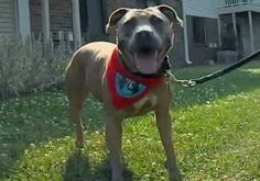 Rescued Pit Bull Pays it Forward: Lilac is doing wonders to change the perceptions of pit bulls in her community. As a therapy dog, she spends her days visiting hospitals, schools, and as a Dog Scout of America. See Lilac at work in this video...