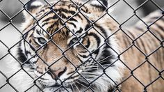 One of many great free stock photos from Pexels. This photo is about wildlife, young, zoo Big Tiger, Save The Tiger, Tiger Face, Animal Wallpaper, Cool Wallpaper, Dark Photography, Animal Photography, Photography Ideas, Cool Pictures