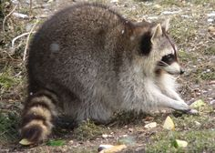 That is one plump raccoon