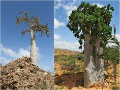 Characterized by its pale, bottle-like trunk, the cucumber tree (Dendrosicyos socotrana) is a species endemic to Socotra.