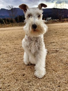 The Wire Fox Terrier, my next puppy dog!