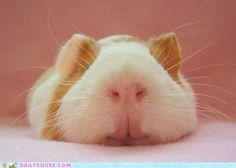 Sleep, precious piggie.