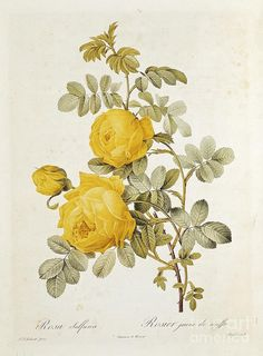 Rosa Drawing - Rosa Sulfurea by Pierre Redoute
