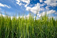 Stock Image Of Corn Field And Blue Sky Clouds In The Background cakepins.com
