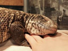 Manuel is a savannah monitor lizard who is just as cuddly has a puppy. His owner Astya Lemur shows him off on Instagram and says he's a very curious animal who loves to explore.