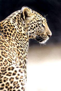 Big cat obsession-Leopard