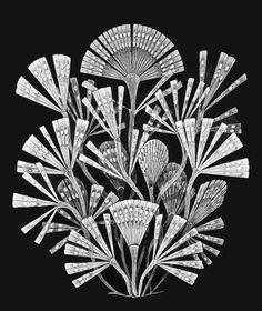Licmophora flabellata - Haeckel illustration