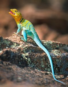 Collared Lizard Photograph - Collared Lizard Fine Art Print - Inge Johnsson