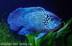 The Jack Dempsey is a cichlid fish that is widely distributed across North and Central America. Its common name refers to its aggressive nature and strong facial features, likened to that of the famous 1920s boxer Jack Dempsey.