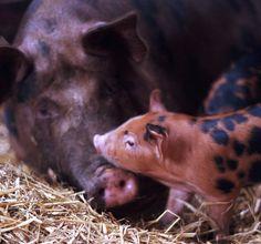 piggy & mama