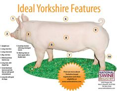 About > Hampshire | National Swine Registry