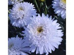 """Aster x alpinus """" White """" ® - astra , hvězdnice alpská plnokvětá Zahradnictví Krulichovi - zahradnictví, květinářství, trvalky, skalničky, bylinky a koření"""