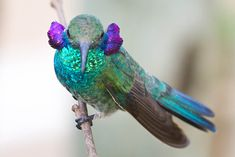 Foto beija-flor-de-orelha-violeta (Colibri serrirostris) por Luís Roberto (Violet-eared Hummingbird)
