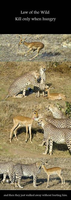 Humanity's hunter for sport could take a lesson from the animal kingdom.It's petting the baby. I can't even handle the cute. Cute Baby Animals, Animals And Pets, Funny Animals, Wild Animals, Nature Animals, Animals Planet, Animal Babies, Small Animals, Beautiful Creatures
