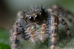 151 Best Jumping Spiders images in 2017 | Jumping spider