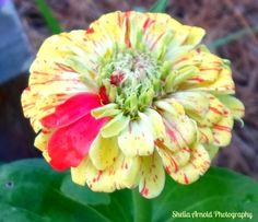 A little spot of color--zinnia--my garden