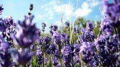 Domuzları engellemek için arazilerin çevresine lavanta bitkisi dikilecek.
