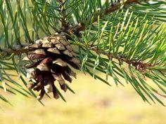 Pinus Sylvestris, Scots Pine (erdeifenyő)
