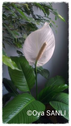 My Peace lily..