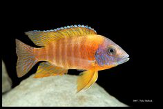 Peacock Cichlid, had one of these guys