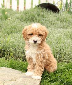 #PoodleMix #Charming #PinterestPuppies #PuppiesOfPinterest #Puppy #Puppies #Pups #Pup #Funloving #Sweet #PuppyLove #Cute #Cuddly #Adorable #ForTheLoveOfADog #MansBestFriend #Animals #Dog #Pet #Pets #ChildrenFriendly #PuppyandChildren #ChildandPuppy #LancasterPuppies www.LancasterPuppies.com Poodle Mix Puppies, Lancaster Puppies, Animals Dog, Puppies For Sale, Mans Best Friend, Say Hello, Puppy Love, Pets, Children