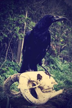 #crows #skulls  horned one