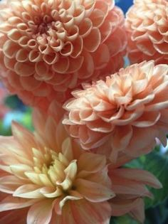 Ball Dahlias in peach. Yes! This is my official wedding flower. Beautiful!