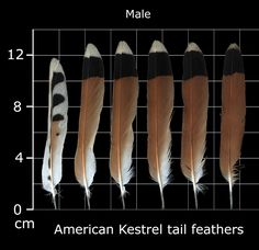 The Feather Atlas - Feather Identification and Scans - U.S. Fish and Wildlife Service Forensics Laboratory