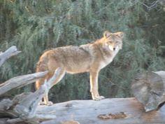 Coyote, photo copyright Tim Machado