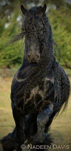Horse photography - Enjoy the Friesian horse