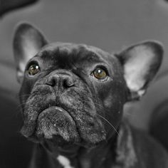Pictures of French Bulldog Dog Breed