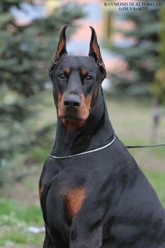 The Doberman Pinscher is among the most popular breed of dogs in the world. Known for its intelligence and loyalty, the Pinscher is both a police- favorite Doberman Mix, Doberman Pinscher Dog, Rottweiler Puppies, Doberman Training, Dog Training, Dog Care, Beautiful Dogs, Dog Grooming, Pit Bull