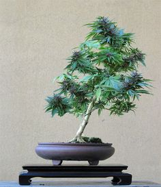 Cannabis Bonsai.
