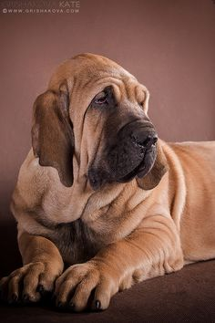 Fila Brasileiro. Pet Dogs, Dogs And Puppies, Dog Cat, Doggies, Animals United, Animals And Pets, Cute Animals, Cane Corso Dog, Giant Dogs