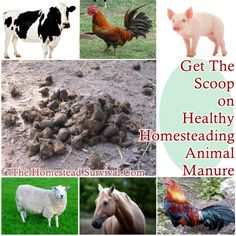 The Homestead Survival | Get The Scoop on Healthy Homesteading Animal Manure | http://thehomesteadsurvival.com