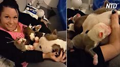 This stray dog wanted to thank her foster 'mom' for taking her in while she was pregnant. After giving birth to a litter of eleven, the rescue pit bull picked up each puppy one by one and enthusiastically brought them across the room and gentlyset themdown on her foster's 'mom's lap. Then affectionately placed her …