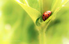 The sleepy ladybug (Raphaël Odin / Lyon / France) #DMC-LX15 #macro #photo #insect #nature